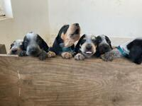 Cute coonhounds puppies for sale