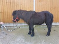 Horse and mini Shetland for sale