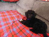 ADORABLE MALE BLACK TOY POODLE PUPPY