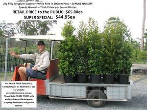 We Are LILLY PILLY SPECIALISTS!  Hedging Privacy QUALITY HS099 Mudgeeraba Gold Coast South Preview