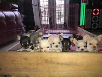 Chihuahua pups