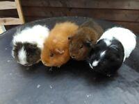 8 female guinea pigs