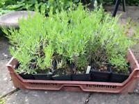 24 Lavender plants