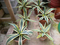 Tropical Drought Resistant Decorative Plants