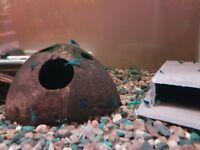 Blue Dream Shrimps