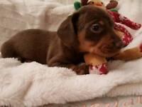 Minature dachund puppies