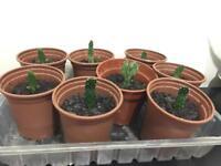 Small Cactus plants