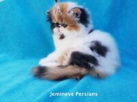 Gorgeous Pure Bred Tortoiseshall & White Available