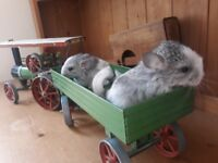 HAND TAMED FROM BIRTH! RARE BABY MALE GREY AND WHITE CHINCHILLAS!