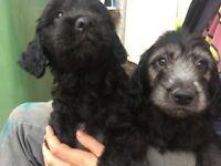 """Poodle Collie mix puppies """"coodles"""""""