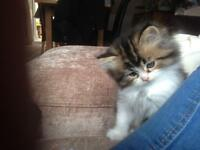 Kitten.. Persian X British shorthair