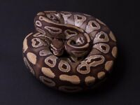 Royal pythons morphs and rack