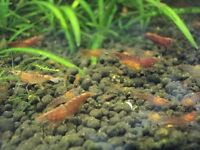 RED CHERRY SHRIMPS MIXED (MALE ,FEMALE) ALGAE EATERS SUITABLE FOR TROPICAL FISH TANK