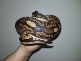 NOT AVAILABLE ** Snake Cinnamon Ball Python 7mths