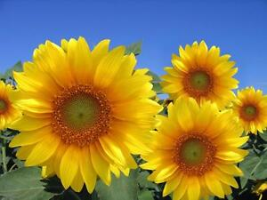 "Beautiful Big 24""x36"" High Definition ""Happy Sunflowers"" Picture."