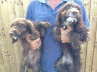 Cockapoo puppies . Last 2