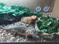 2 adult bearded dragons