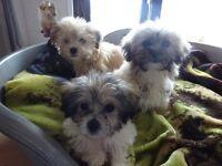 Lhasa apso X Maltese pups