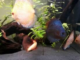 3x Discus Tropical Fish