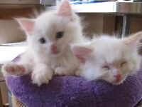 4 ragdoll kittens forsale allmale flamepoints