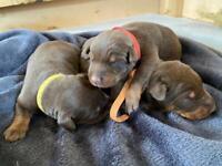 Chocolate Doberman Puppies - 1 boy, 2 girls
