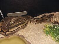 Male spider royal python +full set up