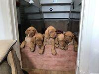 Beautiful Hungarian Vizsla puppies for sale