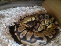 Royal pastel python