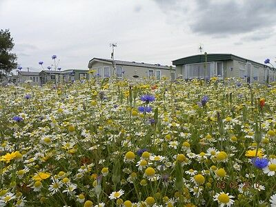 Cornfield Annuals in a Holiday Park