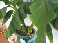 Two Banana Plants that are taking over our little lobby.