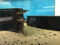 Fire eel
