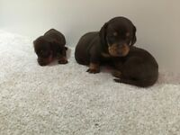 Stunning dachound puppy's