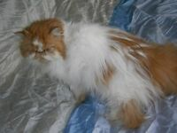 beautiful pedigree persian princess in need of loving home