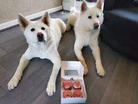 All white Akita puppies