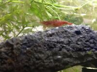 Cherry Shrimp For Sale