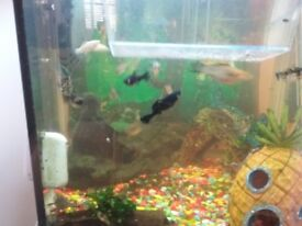 Molly Fish for Sale