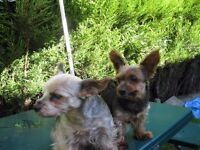 loving home wanted for two Yorkshire terrier dogs