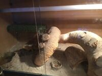 Bearded dragon with enclosure