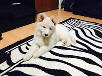 German shepherd puppy for sale 1 white. 2 months old girl