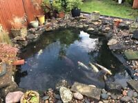 Koi carp, 9 for sale up to 2ft long, plus large pond pump + pond gear, job lot to get you started.