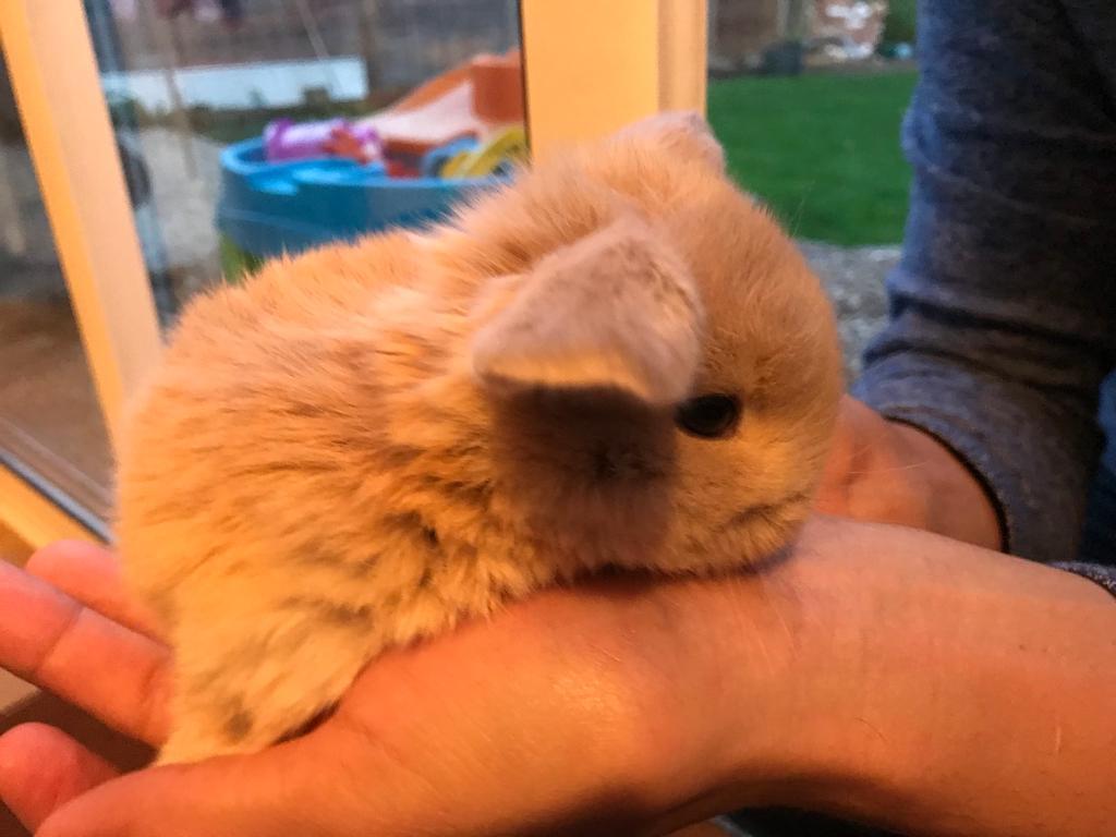Lop ear baby bunny