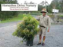 Fine Leaf Tuckeroo 45 ltr bags Spectacular Australian Native Tree Mudgeeraba Gold Coast South Preview