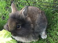 Baby rabbits 1 for 15gbp, 2 for 25gbp or 3 for 30gbp