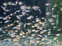 TROPICAL COMMUNITY FISH AQUARIUM TETRAS