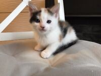 Lovely female kitten trained wormed eats dry & wet food ready to go