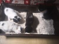 4 Adorable fluffy kittens for sale