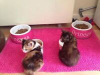 2 female kittens - 8 months old. Trained, Flead and Wormed.