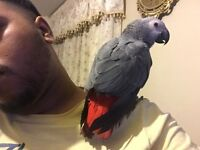 Hand reared baby African Grey Congo Super friendly healthy talking Parrot