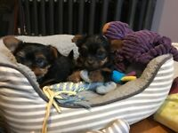 Tiny mini T Yorkie / Yorkshire terrier puppies