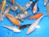 """4"""" TO 6"""" KOI CARP POND FISH"""